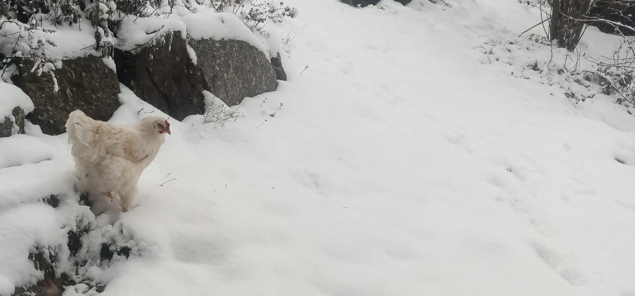 Junghuhn im Schnee