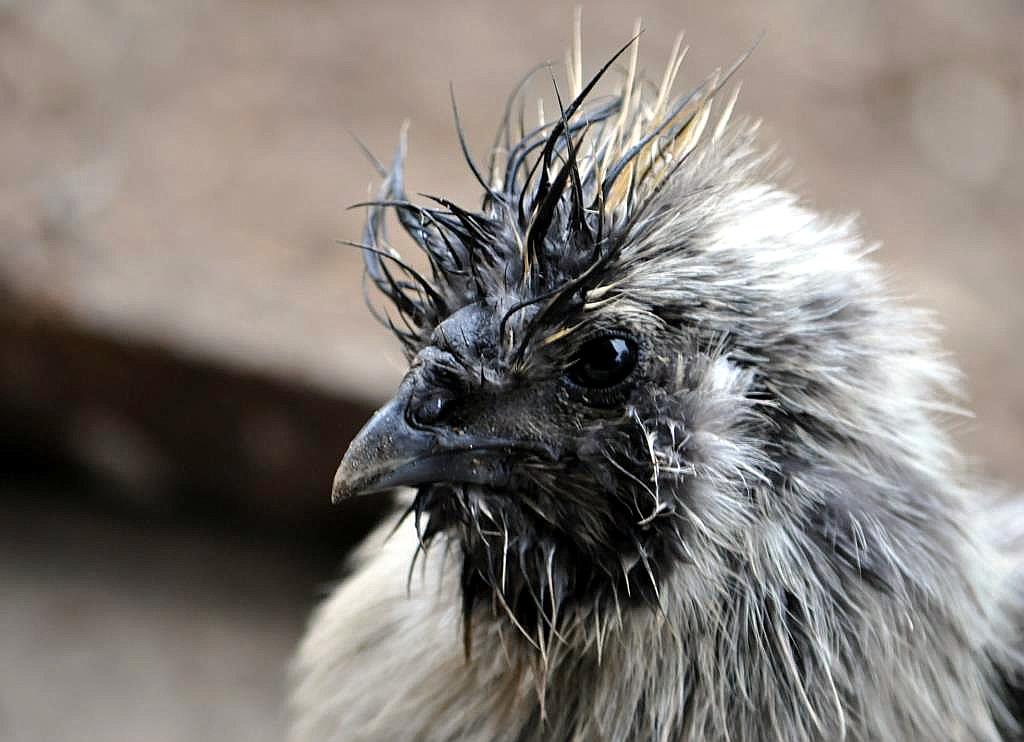 Seidenhühner sind wetterfest